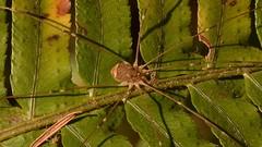 Harvestman (Opiliones) spider on Western Sword Fern (Treebeard) Tags: harvestman phalangioidea eupnoi opiliones arachnida spider westernswordfern polystichummunitum dryopteridaceae susancreek northumpquariver douglascounty oregon