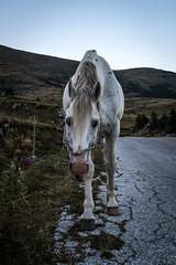 Stallion (Maria Zaharieva) Tags: animal horse stallion road blackroad white bulgaria nature