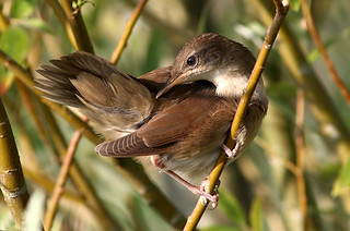 Preening Juvenile Reed Warbler