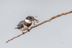 Belted Kingfisher - Male (Mike Veltri) Tags: birds avian kingfisher fish nature wild ontario canada