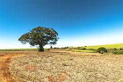Tree - Itapuí/SP - 1 (Enio Godoy - www.picturecumlux.com.br) Tags: hymenaealfabaceae–caesalpinioideae countryside bluesky fruit itapuísp tree niksoftware viveza261313261368393 jatai rokinon2812mm sky sony sony03 fruitjatai sonyalpha6300 sonyalpha