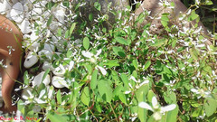 Euphorbia graminea - Grassleaf Spurge / Ponta-de-Flecha (JACQ.) (A Sprinkle of Earth) Tags: euphorbiasp sp euphorbiagraminea magnoliopsida malpighiales euphorbiaceae euphorbioideae euphorbieae euphorbiinae plant plants planta plantas plantae flower flowers flor flores ciatio brasil brazil santacatarina beneditonovo nature natural naturalism naturaleza natureza naturalismo photonaturalism fotonaturalismo oscarneto asprinkleofearth spiritofphotography flora tropical neotropical bushy bush arbustiva pontadeflecha lanceolate lanceolada white green verde branca brancas whiteflowers wild wildlife selvagem vidaselvagem garden jardim quintal southamerica américadosul lanceoladas vegetation vegetação