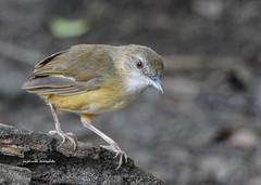 Abbott's Babbler (short tailed) (PakSu KamaPhoto) Tags: nature bird birds babbler