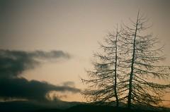 Dead Larch (rockyrutherford) Tags: golf fujicolor c200 35mm film snappysnaps om40 olympus