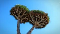 Twins (endresárvári) Tags: tenerife dragontree