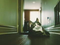 Lovey (iamlewolf) Tags: ratseyeview ratseye cat kitty selectiveconceptualdof selectivefocus focus animal cute adorable pretty bokeh eyes