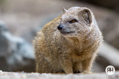 Where are you now? (RonHui) Tags: ouwehands zoo animals dier beest dieren dierentuin