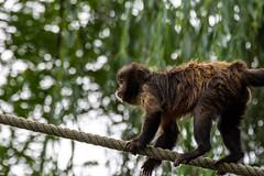 Le capucin à poitrine jaune (antoine_blin) Tags: animal arbres beauval colors couleurs d7200 feuilles green leaf nikon tamron70300mmf456divc trees vert zoo