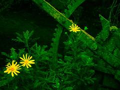 The Mechanics of Marigolds (Steve Taylor (Photography)) Tags: marigold farm plough lever digitalart green yellow metal newzealand nz southisland canterbury christchurch flower plant lichen