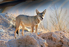 Coyote (Monkeystyle3000) Tags: coyote desert animal nevada