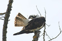 Pick and chew (JSB PHOTOGRAPHS) Tags: jsb6619 osprey deltaponds nikon d7100 eugeneoregon feathers trees sky 200500mm nikon200500mmafsgf56evr