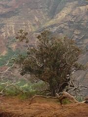 Metrosideros polymorpha (tammoreichgelt) Tags: myrtaceae shrub tree red flower ohia lehua waimea canyon kauai hawaii flowering metrosiderospolymorpha habit