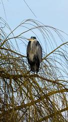 Alert heron in willow tree (Dave_A_2007) Tags: ardeacinerea bird greyheron heron nature wildlife stratfordonavon warwickshire england