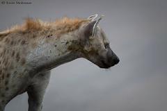Battle scarred Hyena (leendert3) Tags: leonmolenaar southafrica krugernationalpark wildlife nature mammals hyena ngc npc naturethroughthelens