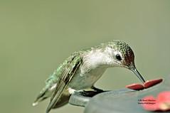 Hummingbird (richardbmarlow) Tags: nature bird hummingbird oudoors wild