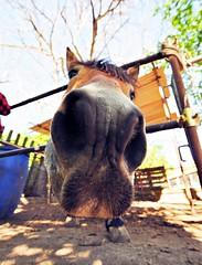Il grande naso 2 - Big nose 2 - Gran nariz 2 (Dedalomouse Photos) Tags: cavalli horses caballos italia italy lagodivico animali animales animals colore color colors tommaso tommasoolmeda olmeda travel dedalomouse il grande naso big nose gran nariz