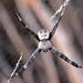 Argiope sp. male