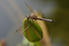 She is on a date! (ineedathis, Everyday I get up, it's a great day!) Tags: watergarden pond odonata insect anisoptera pachydiplaxlongipennis garden summer λυβελλουλη eyes wings nature νουφαρο νυμφαια nikond750 dragonfly female macro incect blue dasher waterlily flower exotic beauty tropical bud lilypads