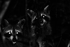 He Brought a Friend (_Lionel_08) Tags: raccoon animal mammal swamp wild wildlife louisiana canon