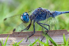 Jean Blue (Cropped) - _TNY_3738C (Calle Söderberg) Tags: macro canon canon5dmkii canonef100mmf28usmmacro canoneos5dmarkii 5d2 flash meike mk300 glassdiffusor insect vietnam phuquoc mercuryphuquocresortvillas odonata libellulidae diplacodes trivialis dragonfly trollslända segeltrollslända chalkypercher skimmer groundskimmer bluegroundskimmer blue matte compoundeyes grass twig libelluloidea phalerata braminea blueeyes lawn profile crop eyecontact f95 vividstriking