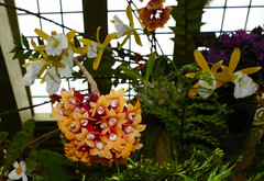Dendrobium lawesii 'Stony Point' species orchid 7-18 (nolehace) Tags: dendrobium lawesii stony point species orchid 718 cultivar flower bloom plant 2018orchidsinthepark sanfranciscoorchidsociety'ssummershowsale orchidsinthepark summer show sale display growers purchase vendors sfos 2018 sanfrancisco society goldengatepark sanfranciscocountyfairbuilding event nolehace fz1000