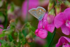 Belles couleurs (jpto_55) Tags: papillon argus proxi fuji fujifilm xe1 hautegaronne france