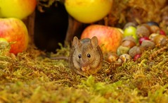 wild house mouse with apples  (16) (Simon Dell Photography) Tags: wild garden house mouse nature animal cute funny fun moss covered log pile acorns nuts berries berrys fuit apple high detail rodent wildlife eye ears door home sheffield ul old english country s12 simon dell apples autumn fall winter fruits seasonal photography