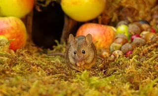 wild house mouse with apples  (16)
