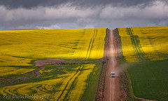 Chased by the Light (Panorama Paul) Tags: paulbruinsphotography wwwpaulbruinscoza southafrica westerncape overberg canola truck yellowflowers nikond800 nikkorlenses nikfilters