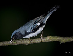 Black-throated Blue Warbler (jt893x) Tags: 150600mm bird blackthroatedbluewarbler d500 jt893x male nikon nikond500 setophagacaerulescens sigma sigma150600mmf563dgoshsms songbird warbler thesunshinegroup sunrays5 coth alittlebeauty coth5