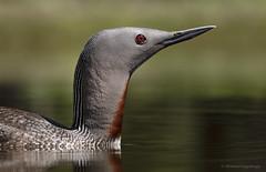 Red-throated loon | Plongeon catmarin (shimmeringenergy) Tags: redthroatedloon plongeoncatmarin gaviastellata canoneos7dmarkii ef100400f4556lisiiusm britishcolumbia