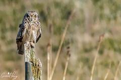 Short-Eared Owl (geraintparry) Tags: short eared owl bird birds birdwatching cardiff rumney great wharf geraint parry geraintparry d3200 nikon