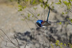 Purple-backed Fairy-wren (Peter Vaughan 2) Tags: animal gunlom kakadu northernterritory australia fairywren malurus passeriformes blue purple nature wilderness wildlife naturephotography wildlifephotography birdphotography nikon sigma 150500mm d5100 avian aves feathers