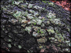 DSCN2916 (DianeBerky19) Tags: nikon coolpixp900 lightroom lichen moss log tree forest colorful