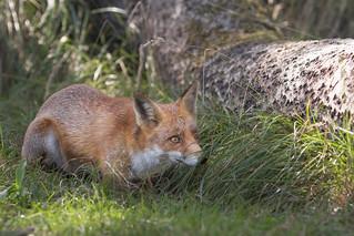 Fox hiding behind the grass