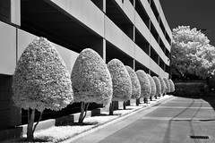 Parking Garage Trees (infrared) (dr_marvel) Tags: bw blackandwhite ir infrared houston tx texas gargage trees trimmed lines parking row