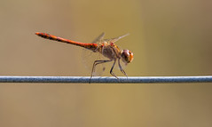 Rote Libelle (KaAuenwasser83) Tags: rote libelle rot insekt draht wiese wild wildnis