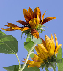 Sunflowers and Blue Sky (mahar15) Tags: asteraceae plant blooms flowers nature outdoors september sunflower bright petals sunflowers brightcolors