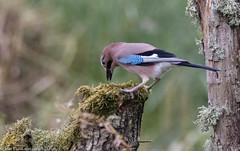 9Q6A2987 (2) (Alinbidford) Tags: alancurtis brandonmarsh jay nature wildbirds wildlife