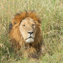 Male Lion - Panthera Leo (rosebudl1959) Tags: 2018 kenya masaimara zebraplains longface june