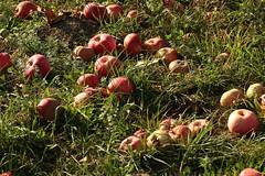 Windfall (gripspix (OFF)) Tags: 20180913 natur nature plant pflanze apple apfel grass gras fallobst windfalls