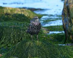 Starling (Lanius Excubitor) Tags: starling nikon bird seaweed rocks