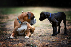 38/52 Say hello (Kerstin Mielke) Tags: kurt deutscherboxer boxerdog 52weeksfordogs family puppy first date