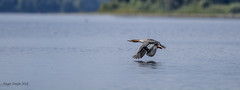Merganser (Roger Daigle) Tags: merganser ducks flight nikon