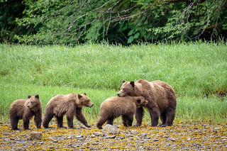 Grizzly bear mom greets her 3 cubs after a morning of clamming on the beach in Khutzeymateen British Columbia.