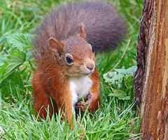 Red Squirrel (eric robb niven) Tags: ericrobbniven scotland dundee redsquirrel wildlife nature springwatch forest tentsmuir
