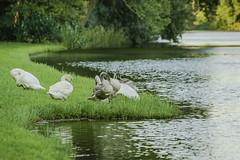 Family swan (a7m2) Tags: austria loweraustria mödling laxenburg schloss teich garten monarchie natur wasser tiere animals schwäne swan spazieren vögel faun flora travel touristen