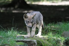 Louveteau européen (Passion Animaux & Photos) Tags: loup europeen european wolf canis lupus