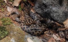 Vipera aspis atra (aspisatra) Tags: vipera aspis atra vipère alpi viper serpente serpent snake grigioni