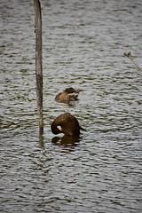 18SHR208 Mallards, Priorslee Flash (bentolley1) Tags: england shropshire telford lake water animal bird duck mallard